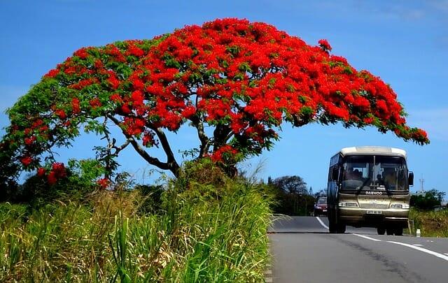 flamboyant arbre