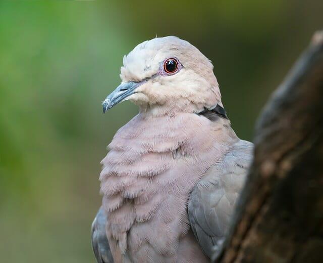 pigeon rose endémique de maurice