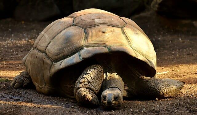 tortue géante trapeze des mascareignes
